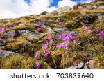 Mountain Pink Flowers  Primula...