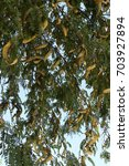 Small photo of Branches of a tree Gleditsia triacanton against a blue sky.