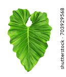 Small photo of Tropical large leaf, large jungle design pattern, Philodendron, water color like texture style, isolated on white background