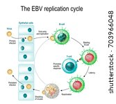 the epstein barr virus  ebv ... | Shutterstock .eps vector #703966048