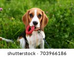 Stock photo very cute young beagle dog portrait small doggy look straight to camera hold ring toy in mouth 703966186