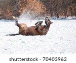 Dark Bay Arabian Horse Rolling...