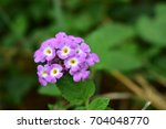 purple flowers are in the... | Shutterstock . vector #704048770
