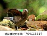 common emerald dove  | Shutterstock . vector #704118814