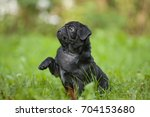 Stock photo cute little happy black puppy pug in park on grass training 704153680