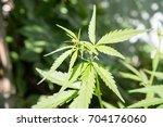 marijuana leaf background... | Shutterstock . vector #704176060