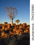 quiver trees  garas park  ... | Shutterstock . vector #704235880