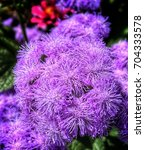 Small photo of Close-up of ageratum flower