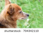 portrait of a beautiful dog... | Shutterstock . vector #704342110