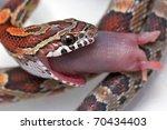 Corn Snake   Pantherophis...