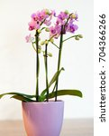pink orchid in a pot | Shutterstock . vector #704366266