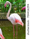 Small photo of American flamingo or Phoenicopterus ruber standing near pound with pink feather