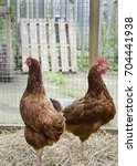 Small photo of Two ISA Brown hens standing next to each other