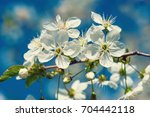 blossoming of cherry flowers in ... | Shutterstock . vector #704442118