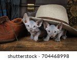 two sweet don sphinx kitten... | Shutterstock . vector #704468998