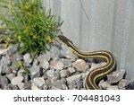Garter Snake On Gravel Beside ...