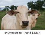 Nelore Cattle