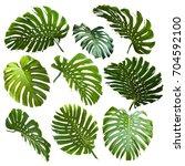 set of tropical monstera leaves | Shutterstock . vector #704592100