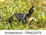 turtle walking on grass. | Shutterstock . vector #704612473