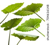 tropical jungle leaves on white ... | Shutterstock . vector #704616148