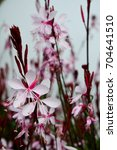 Small photo of butterfly gaura (gaura lingheimerii butterfly); summer flower with white-pink blossoms