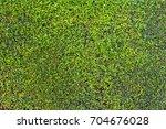 green hedge background texture   Shutterstock . vector #704676028