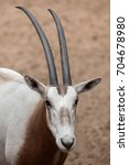 scimitar oryx  oryx dammah  ... | Shutterstock . vector #704678980