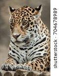 jaguar  panthera onca .... | Shutterstock . vector #704678989