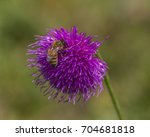 Small photo of Piedmont, Italy - August 2017: Alpine thistle (carduus defloratus) flower with bee.