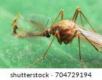 Small photo of Side of wild fly chironomidae chironomus riparius culicidae culex mosquito.