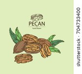 pecan  pecan nuts and leaves.... | Shutterstock .eps vector #704733400