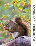 Small photo of American Red Squirrel Tamiasciurus hudsonicus eating rose hip in Teslin, Yukon, Canada