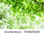 fresh green ginkgo | Shutterstock . vector #704805028