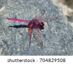 red dragonfly clear wings hold... | Shutterstock . vector #704829508