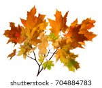 Branch Of Autumn Maple Leaves...