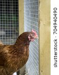 Small photo of GLASGOW, SCOTLAND, UK - SEPTEMBER 23 2013: An ISA Brown hen watching what is happening in the community farm