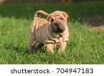 Stock photo portrait of a puppy shar pei dog in outdoors 704947183