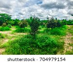 small durian planted with green ... | Shutterstock . vector #704979154