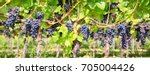 close up on red black grapes in ...
