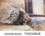 malayan porcupine  himalayan... | Shutterstock . vector #705010828