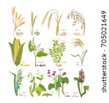set of cereals and legumes ... | Shutterstock .eps vector #705021649
