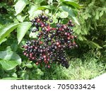 Small photo of Ripe fruit from the Sambucus nigra, Adoxaceae family. Sryria dating in Austria.