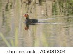 a coot  juvenile  swimming on a ... | Shutterstock . vector #705081304
