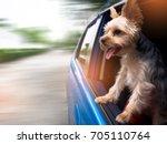 a happy  yorkshire terrier dog... | Shutterstock . vector #705110764