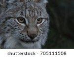european lynx  bobcat  lynx lynx   Shutterstock . vector #705111508