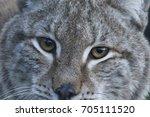european lynx  bobcat  lynx lynx   Shutterstock . vector #705111520