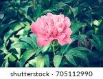 red peonies in the garden. red...   Shutterstock . vector #705112990