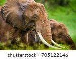 grazing elephant in tarangire... | Shutterstock . vector #705122146