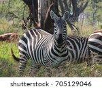 zebra at lake nakuru | Shutterstock . vector #705129046