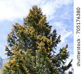 Small photo of golden flourishing Norway spruce, Carinthia, Austria